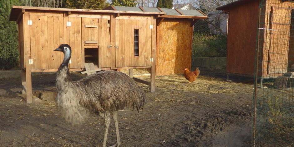 Emu hnedý, samica